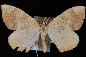 (Eulithis luteolata - WFBM-07-0078)  @14 [ ] CreativeCommons - Attribution (2010) Jeremy deWaard University of British Columbia