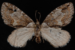 (Hydriomena edenata - WFBM-07-0081)  @12 [ ] CreativeCommons - Attribution (2010) Jeremy deWaard University of British Columbia