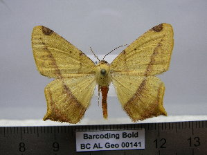 (Nepheloleuca sp. RD-AL1 - BC AL Geo 00141)  @14 [ ] Copyright (2010) Antoine Leveque Research Collection of Antoine Leveque