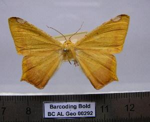 (Nepheloleuca sp. (politia - BC AL Geo 00292)  @11 [ ] Copyright (2010) Antoine Leveque Research Collection of Antoine Leveque