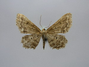 (Idaea consanguiberica - BC AL Geo 00506)  @14 [ ] Copyright (2010) Antoine Leveque Research Collection of Antoine Leveque