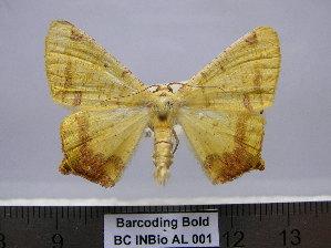 (Nepheloleuca sp. CR-AL2 - BC INBio AL 001)  @11 [ ] Unspecified (default): All Rights Reserved  Unspecified Unspecified