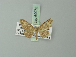(Cyclophora coecaria - BC ZSM Lep 69972)  @11 [ ] CreativeCommons - Attribution Non-Commercial Share-Alike (2014) Axel Hausmann SNSB, Zoologische Staatssammlung Muenchen