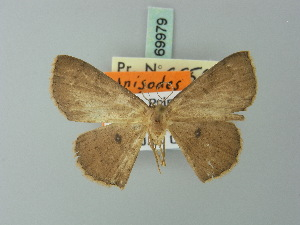 (Cyclophora cedrici - BC ZSM Lep 69979)  @13 [ ] CreativeCommons - Attribution Non-Commercial Share-Alike (2014) Axel Hausmann SNSB, Zoologische Staatssammlung Muenchen