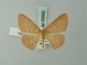 (Cyclophora imbuta - BC ZSM Lep 69982)  @11 [ ] CreativeCommons - Attribution Non-Commercial Share-Alike (2014) Axel Hausmann SNSB, Zoologische Staatssammlung Muenchen