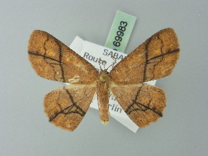 (Cyclophora flavirubra - BC ZSM Lep 69983)  @11 [ ] CreativeCommons - Attribution Non-Commercial Share-Alike (2014) Axel Hausmann SNSB, Zoologische Staatssammlung Muenchen