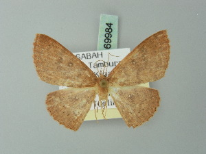 (Cyclophora lowi - BC ZSM Lep 69984)  @13 [ ] CreativeCommons - Attribution Non-Commercial Share-Alike (2014) Axel Hausmann SNSB, Zoologische Staatssammlung Muenchen