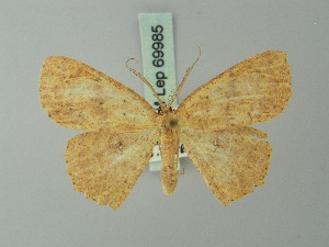 (Cyclophora intortaria - BC ZSM Lep 69985)  @13 [ ] CreativeCommons - Attribution Non-Commercial Share-Alike (2014) Axel Hausmann SNSB, Zoologische Staatssammlung Muenchen