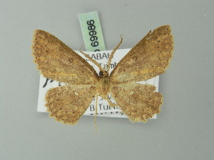 (Cyclophora carsoni - BC ZSM Lep 69986)  @12 [ ] CreativeCommons - Attribution Non-Commercial Share-Alike (2014) Axel Hausmann SNSB, Zoologische Staatssammlung Muenchen