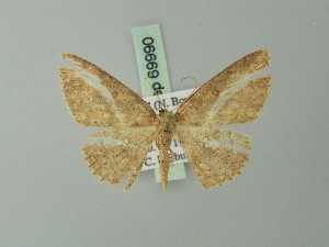 (Cyclophora intermixtaria - BC ZSM Lep 69990)  @11 [ ] CreativeCommons - Attribution Non-Commercial Share-Alike (2014) Axel Hausmann SNSB, Zoologische Staatssammlung Muenchen