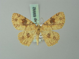 (Cyclophora heydena - BC ZSM Lep 69992)  @14 [ ] CreativeCommons - Attribution Non-Commercial Share-Alike (2014) Axel Hausmann SNSB, Zoologische Staatssammlung Muenchen