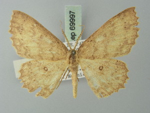 (Cyclophora scintillans - BC ZSM Lep 69997)  @15 [ ] CreativeCommons - Attribution Non-Commercial Share-Alike (2014) Axel Hausmann SNSB, Zoologische Staatssammlung Muenchen