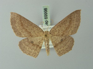 (Cyclophora bipartita - BC ZSM Lep 69998)  @14 [ ] CreativeCommons - Attribution Non-Commercial Share-Alike (2014) Axel Hausmann SNSB, Zoologische Staatssammlung Muenchen