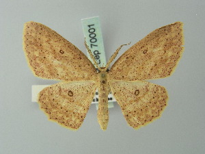 (Cyclophora rufistigma - BC ZSM Lep 70001)  @14 [ ] CreativeCommons - Attribution Non-Commercial Share-Alike (2014) Axel Hausmann SNSB, Zoologische Staatssammlung Muenchen