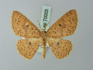 (Cyclophora viator - BC ZSM Lep 70003)  @15 [ ] CreativeCommons - Attribution Non-Commercial Share-Alike (2014) Axel Hausmann SNSB, Zoologische Staatssammlung Muenchen
