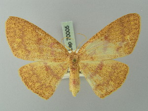 (Cyclophora gigantula - BC ZSM Lep 70005)  @11 [ ] CreativeCommons - Attribution Non-Commercial Share-Alike (2014) Axel Hausmann SNSB, Zoologische Staatssammlung Muenchen