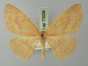(Cyclophora rhodostigma - BC ZSM Lep 70006)  @13 [ ] CreativeCommons - Attribution Non-Commercial Share-Alike (2014) Axel Hausmann SNSB, Zoologische Staatssammlung Muenchen