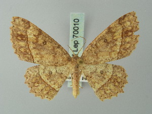 (Cyclophora mezclata - BC ZSM Lep 70010)  @14 [ ] CreativeCommons - Attribution Non-Commercial Share-Alike (2014) Axel Hausmann SNSB, Zoologische Staatssammlung Muenchen