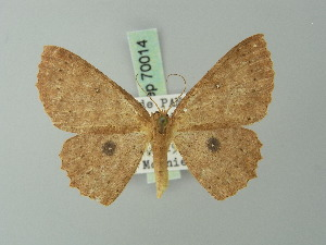 (Cyclophora lateritiaria - BC ZSM Lep 70014)  @14 [ ] CreativeCommons - Attribution Non-Commercial Share-Alike (2014) Axel Hausmann SNSB, Zoologische Staatssammlung Muenchen
