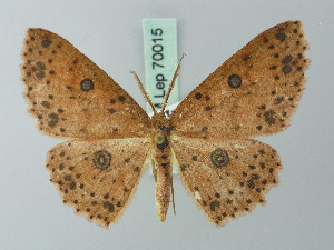 (Cyclophora violens - BC ZSM Lep 70015)  @15 [ ] CreativeCommons - Attribution Non-Commercial Share-Alike (2014) Axel Hausmann SNSB, Zoologische Staatssammlung Muenchen