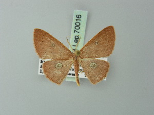 (Cyclophora dicycla - BC ZSM Lep 70016)  @13 [ ] CreativeCommons - Attribution Non-Commercial Share-Alike (2014) Axel Hausmann SNSB, Zoologische Staatssammlung Muenchen