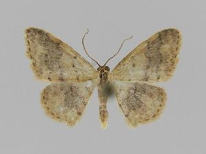 (Idaea EF01 - BC EF Alc 00056)  @14 [ ] Copyright (2010) Egbert Friedrich Research Collection of Egbert Friedrich