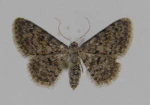 (Idaea ferrilineaEF01 - BC EF Alc 00124)  @14 [ ] Copyright (2010) Egbert Friedrich Research Collection of Egbert Friedrich