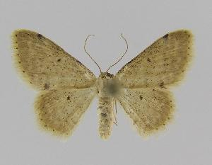 (Idaea sp. 12 - BC EF Alc 00273)  @11 [ ] Copyright (2010) Egbert Friedrich Research Collection of Egbert Friedrich