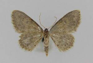 (Idaea cf. ferrilinea - BC EF Alc 00422)  @11 [ ] Copyright (2010) Egbert Friedrich Research Collection of Egbert Friedrich