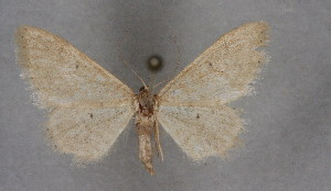 (Idaea debiliata - BC NP 0214)  @13 [ ] Copyright (2010) Norbert Poell Research Collection of Norbert Poell