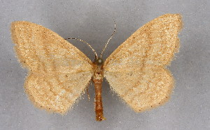 (Idaea ochrata - BC NP 0273)  @14 [ ] Copyright (2010) Norbert Poell Research Collection of Norbert Poell