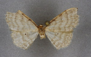 (Idaea fuscovenosaAH01Mr - BC NP 0289)  @13 [ ] Copyright (2010) Norbert Poell Research Collection of Norbert Poell