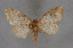 (Idaea blaesii - BC NP 0348)  @14 [ ] Copyright (2010) Norbert Poell Research Collection of Norbert Poell