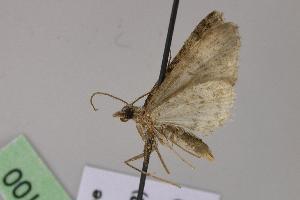 (Eupithecia albirasaAH01Ec - BC ZSM Lep 04100)  @13 [ ] CreativeCommons - Attribution Non-Commercial Share-Alike (2010) Axel Hausmann SNSB, Zoologische Staatssammlung Muenchen