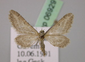 (Eupithecia furcata - BC ZSM Lep 06929)  @14 [ ] CreativeCommons - Attribution Non-Commercial Share-Alike (2010) Axel Hausmann SNSB, Zoologische Staatssammlung Muenchen