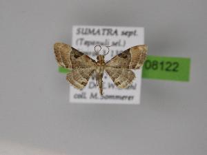 ( - BC ZSM Lep 08122)  @13 [ ] Copyright (2010) Axel Hausmann/Bavarian State Collection of Zoology (ZSM) SNSB, Zoologische Staatssammlung Muenchen