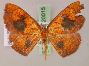 (Cyclophora inaequalisAH01Tz - BC ZSM Lep 20015)  @14 [ ] CreativeCommons - Attribution Non-Commercial Share-Alike (2010) Axel Hausmann SNSB, Zoologische Staatssammlung Muenchen