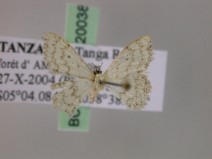 (Scopula ossicolor - BC ZSM Lep 20038)  @13 [ ] CreativeCommons - Attribution Non-Commercial Share-Alike (2010) Axel Hausmann SNSB, Zoologische Staatssammlung Muenchen