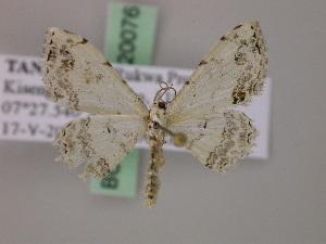 (Scopula nemorivagataAH01Tz - BC ZSM Lep 20076)  @14 [ ] CreativeCommons - Attribution Non-Commercial Share-Alike (2010) Axel Hausmann SNSB, Zoologische Staatssammlung Muenchen