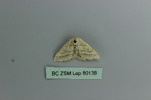 (Scopula ansulata - BC ZSM Lep 80138)  @12 [ ] CreativeCommons - Attribution Non-Commercial Share-Alike (2013) Axel Hausmann SNSB, Zoologische Staatssammlung Muenchen