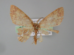 (Cyclophora AH07Pe - BC ZSM Lep 04420)  @13 [ ] CreativeCommons - Attribution Non-Commercial Share-Alike (2010) Axel Hausmann SNSB, Zoologische Staatssammlung Muenchen