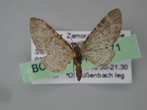 (Eupithecia AH06Ec - BC ZSM Lep 04471)  @13 [ ] CreativeCommons - Attribution Non-Commercial Share-Alike (2010) Axel Hausmann SNSB, Zoologische Staatssammlung Muenchen
