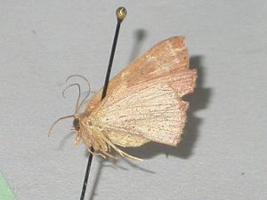 (Cyclophora AH01Au - BC ZSM Lep 08324)  @13 [ ] CreativeCommons - Attribution Non-Commercial Share-Alike (2010) Axel Hausmann SNSB, Zoologische Staatssammlung Muenchen