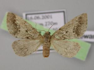 (Eumannia - BC ZSM Lep 11471)  @14 [ ] Copyright (2010) Axel Hausmann/Bavarian State Collection of Zoology (ZSM) SNSB, Zoologische Staatssammlung Muenchen