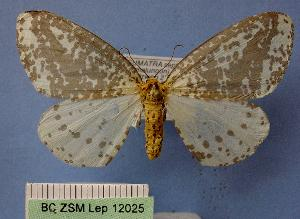 (Abraxas leucoloepa - BC ZSM Lep 12025)  @14 [ ] Copyright (2010) Axel Hausmann/Bavarian State Collection of Zoology (ZSM) SNSB, Zoologische Staatssammlung Muenchen