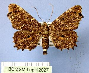 (Thoyowpongia - BC ZSM Lep 12027)  @13 [ ] Copyright (2010) Axel Hausmann/Bavarian State Collection of Zoology (ZSM) SNSB, Zoologische Staatssammlung Muenchen