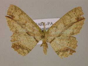 (Cyclophora melitiaAM01Br - BC ZSM Lep 17116)  @13 [ ] CreativeCommons - Attribution Non-Commercial Share-Alike (2010) Axel Hausmann SNSB, Zoologische Staatssammlung Muenchen