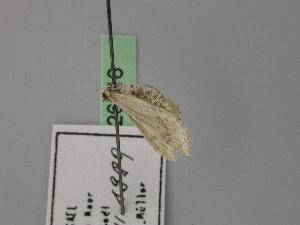 (Idaea allongata allongata - BC ZSM Lep 26616)  @11 [ ] CreativeCommons - Attribution Non-Commercial Share-Alike (2010) Axel Hausmann SNSB, Zoologische Staatssammlung Muenchen