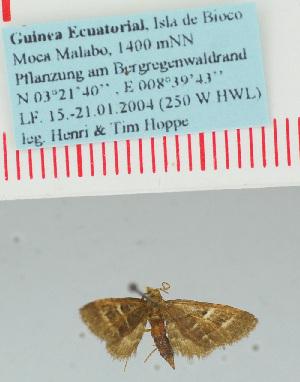 (Eupithecia karischi - BC ZSM Lep 32386)  @12 [ ] Copyright (2010) Axel Hausmann/Bavarian State Collection of Zoology (ZSM) SNSB, Zoologische Staatssammlung Muenchen