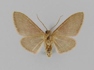 (Idaea EF13 - BC EF Lep 00715)  @14 [ ] Copyright (2010) Egbert Friedrich Research Collection of Egbert Friedrich
